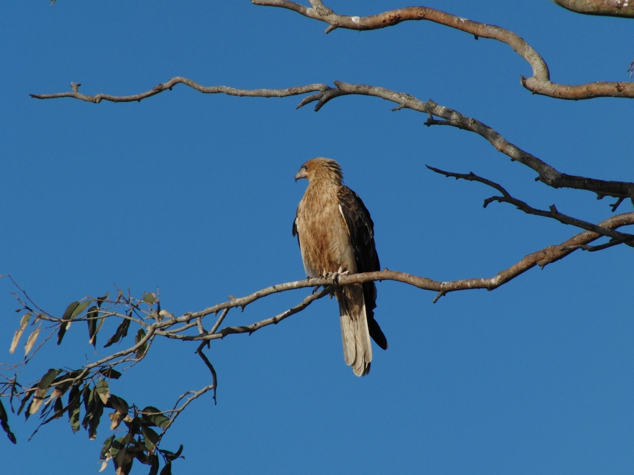 Whistling-Kite-psalmistice_CIMG2562