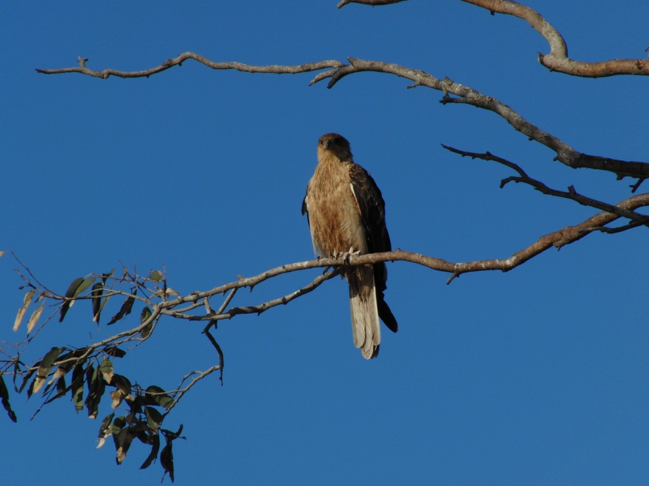 Whistling-Kite-psalmistice_CIMG2563