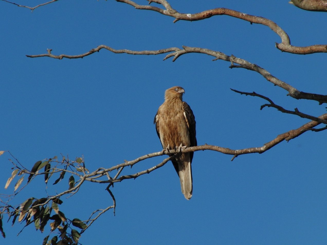 Whistling-Kite-psalmistice_CIMG2564