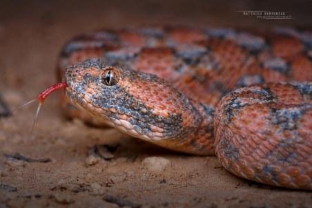 Echis coloratus, reddish morph (Source: mattieu-berroneau.fr)