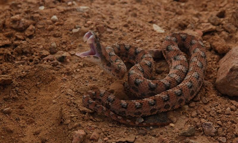 Echis coloratus (source: eilatbirding.blogspot.com)