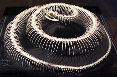 Snake_skeleton_3